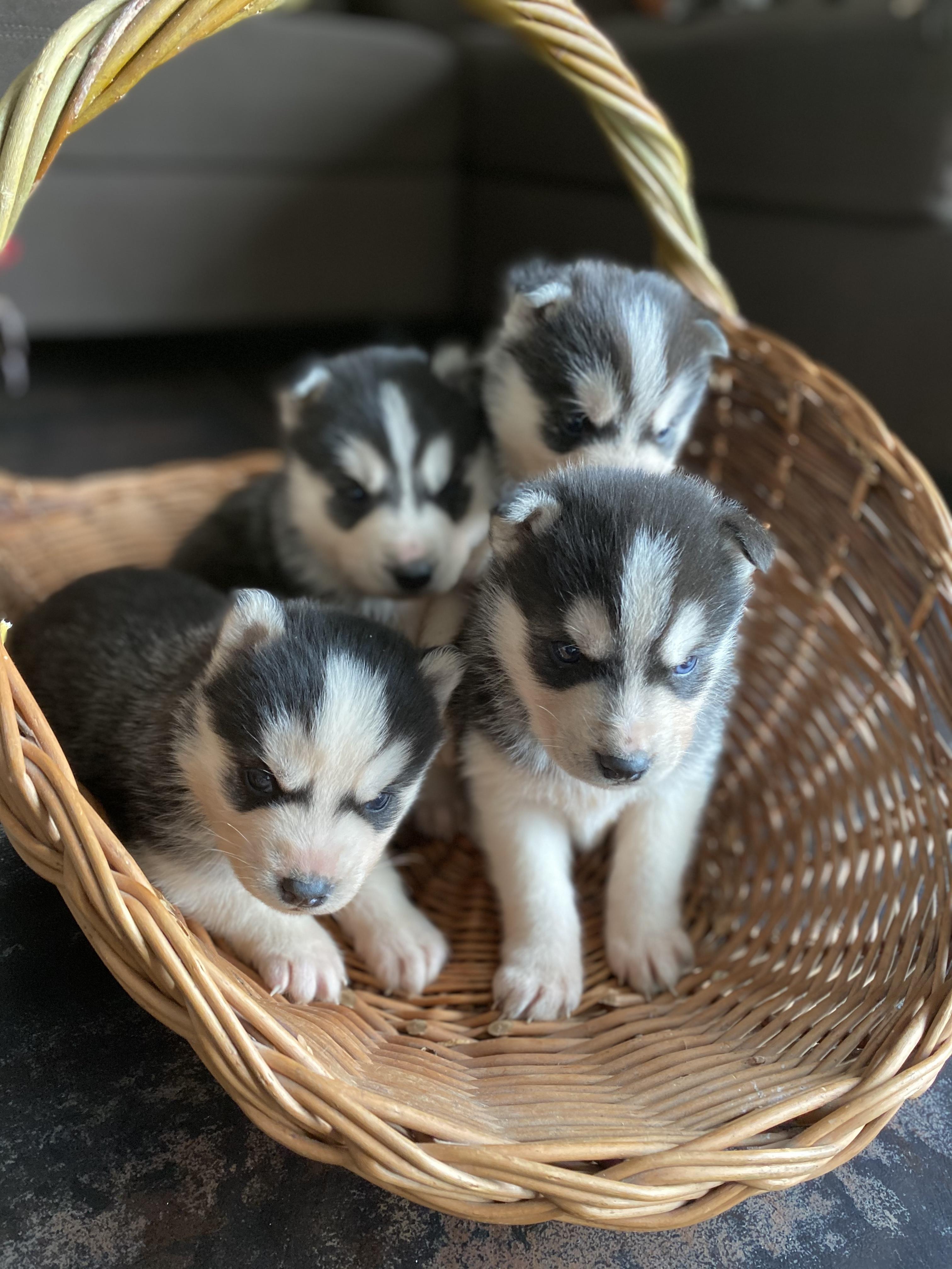 В продаже щенки Сибирских Хаски